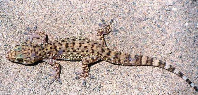 Hemidactylus_turcicus